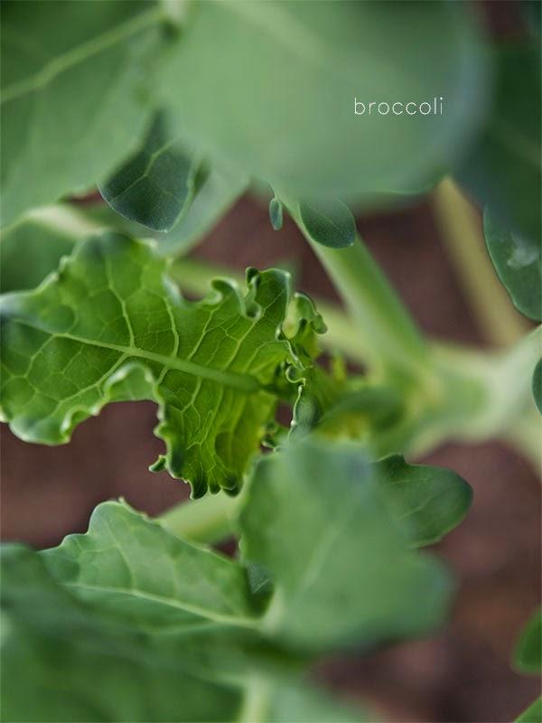#garden, #broccoli