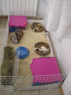 Rosicchiamo tutti insieme cavie gabbia e recinto for Recinto cani leroy merlin