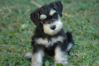 miniature schnauzer dog animal pets puppy wallpaper