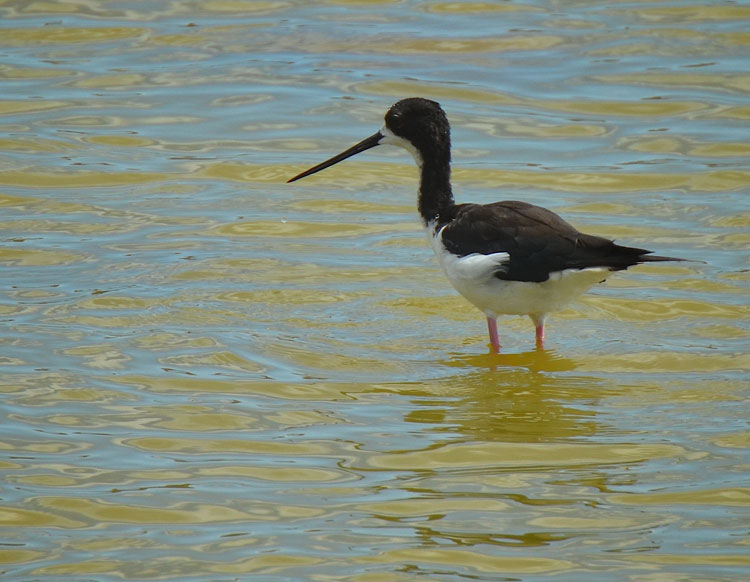 Hawaiian Stilt in deeper water.