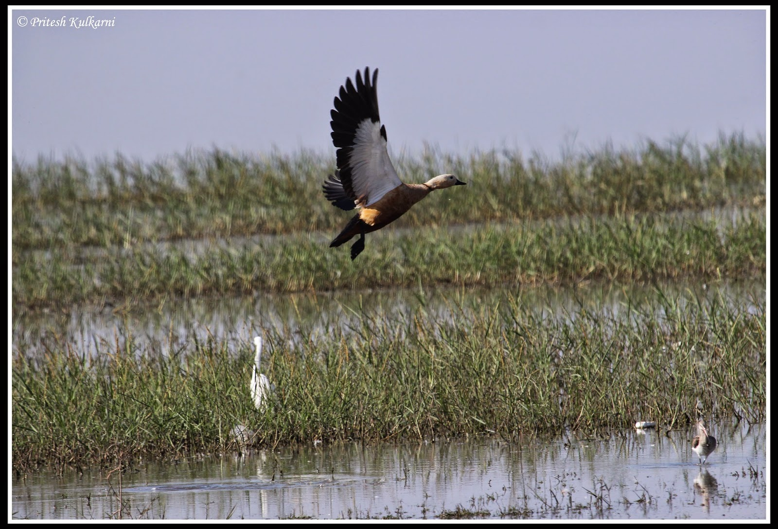 Ruddy Shelduck in flight