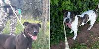 pit bull roma adozione cani