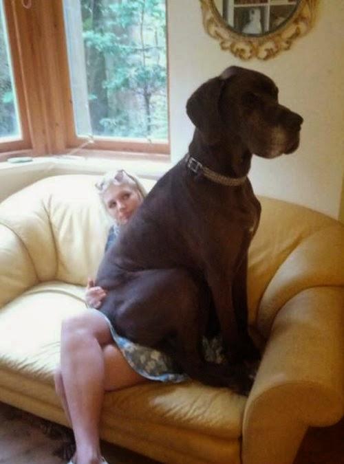 kollima.gr - 28 σκυλιά που δεν έχουν συνειδητοποιήσει πόσο τεράστια είναι!