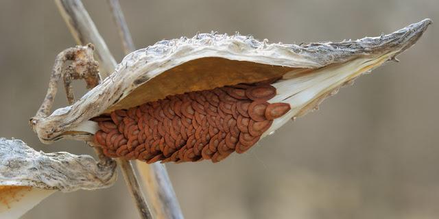 семена ваточника