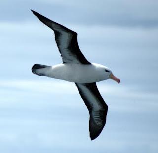 Çka eshte Albatrosi,ciles familje te shpendeve i takon albatrosi,si e redukton harxhimin e energjise Albatrosi,sa % te jetes e kalon ne det albatrosi,sa eshte hapja e kraheve tek albatrosi,cila eshte karakteristika me kryesore e shpendit albatros,Çka është Albatrosi ?