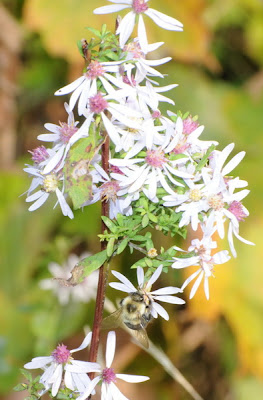 Common Blue Wood Aster (Symphyotrichum cordifolium)