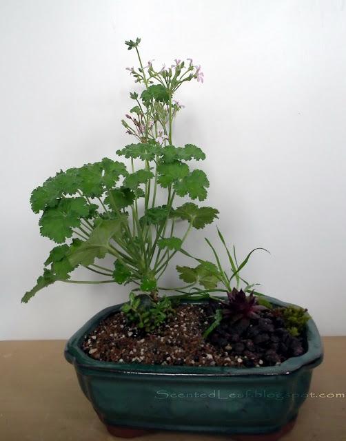Fruit-scented miniature garden with nutmeg scented pelargonium / geranium