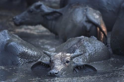 binatang terbesar di dunia - Kerbau