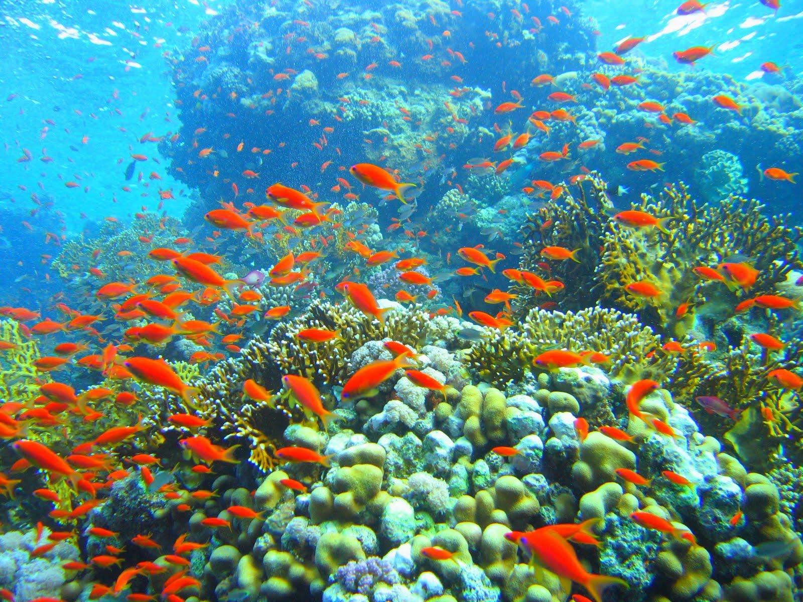 http://4.bp.blogspot.com/-rDw7pM1nP70/Tbk22LvGA2I/AAAAAAAAAG0/uPSfxeK-PUA/s1600/Coral_reef_in_Ras_Muhammad_nature_park_%2528Iolanda_reef%2529.jpg