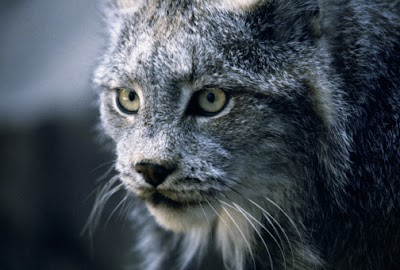 Wildlife Biologists verify more than 100 Bobcat sightings in Ohio