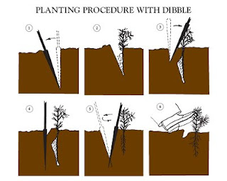 planting procedure with dibble (dibbling)