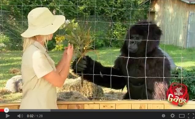 http://funkidos.com/videos-collection/funny-videos/gorilla-marriage-proposal