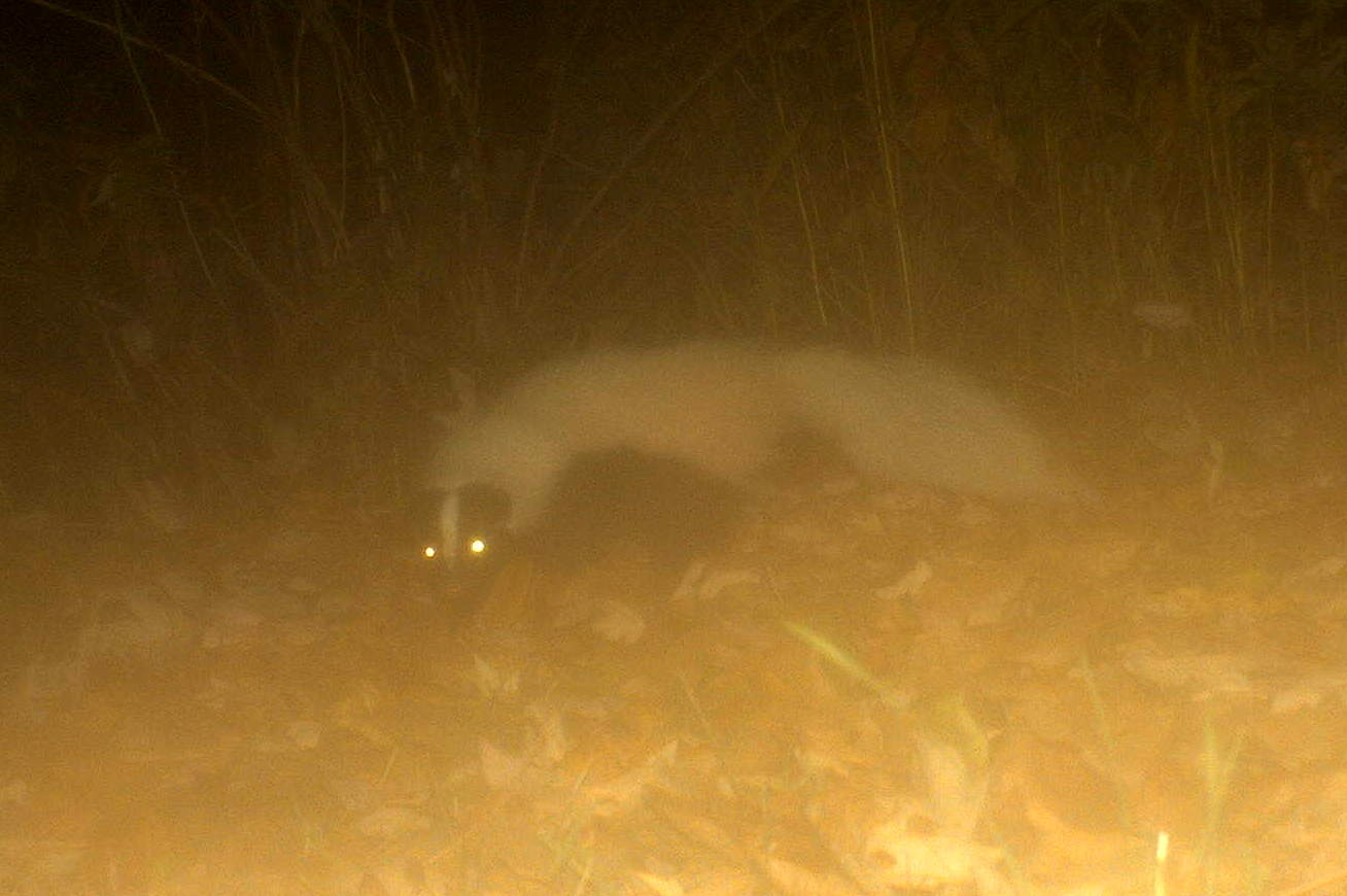 Exceptional Striped Skunk (Seneca Falls, NY 11/12)