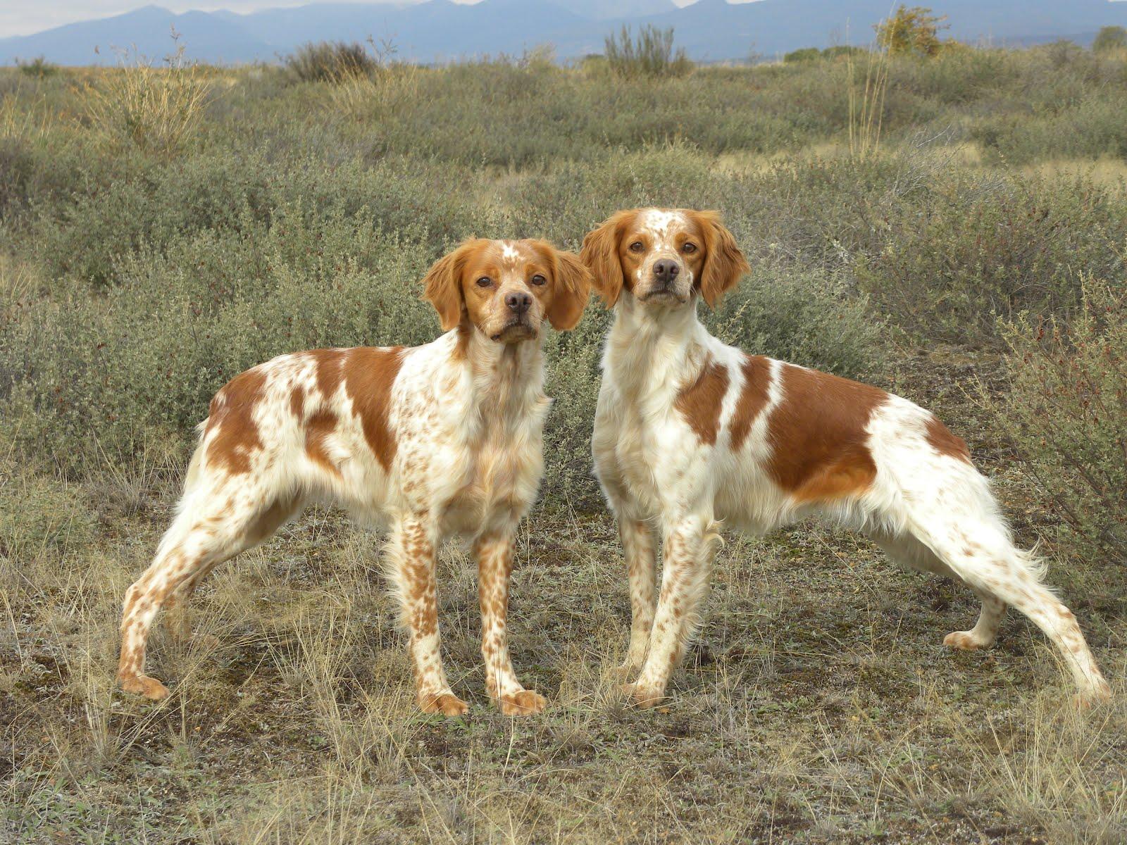 щенки собаки породы эпаньоль-дю-ларзак