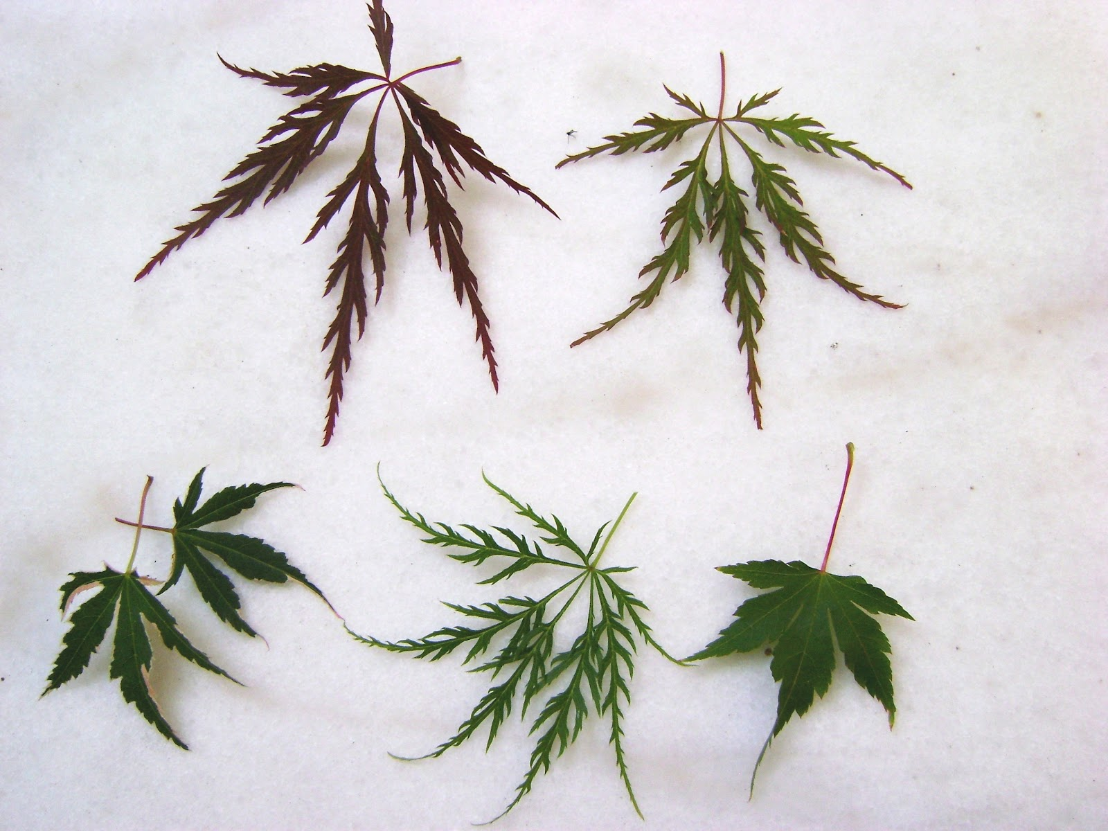 PlantZee Information On Japanese Maple