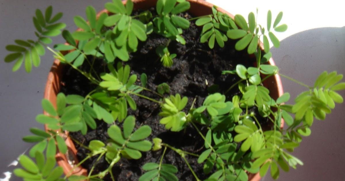 мимоза недотрога из семян выращивание