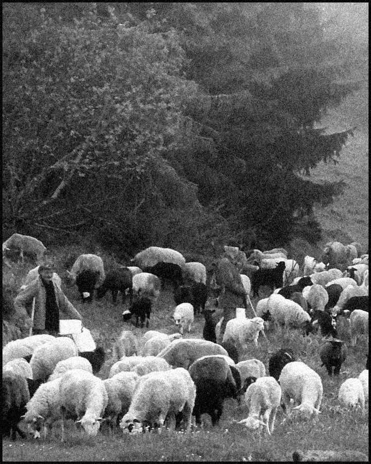 Отара овец и коз с пастухом в горах Карпаты