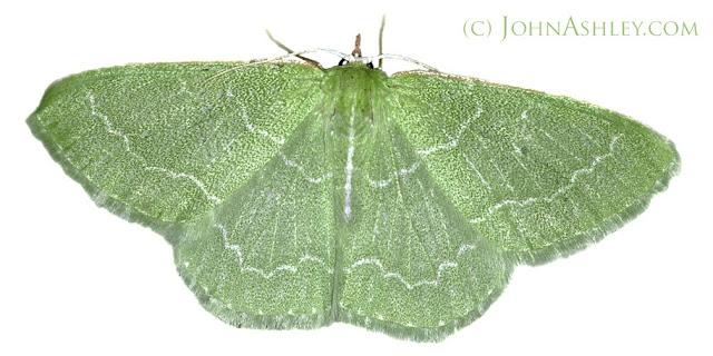 Wavy-lined emerald moth (c) John Ashley