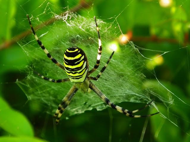 Aranha-vespa