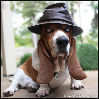 Basset Hound wearing leather hat.