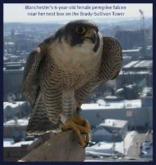 Peregrine Falcon Web Cam