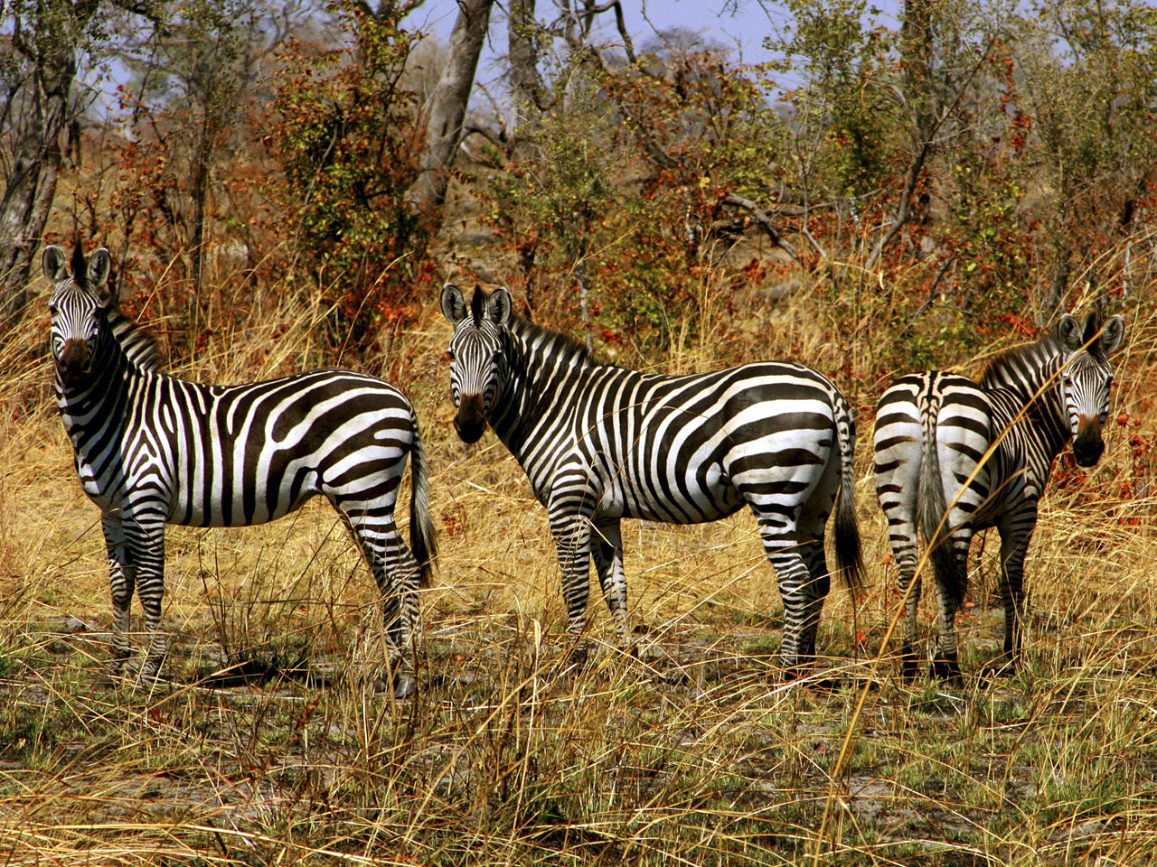 http://4.bp.blogspot.com/-rFkOnxpXnG8/T9qYwc2r2TI/AAAAAAAAt2k/3ca_nhLFoHs/s1600/zebra-wallpaper.jpg