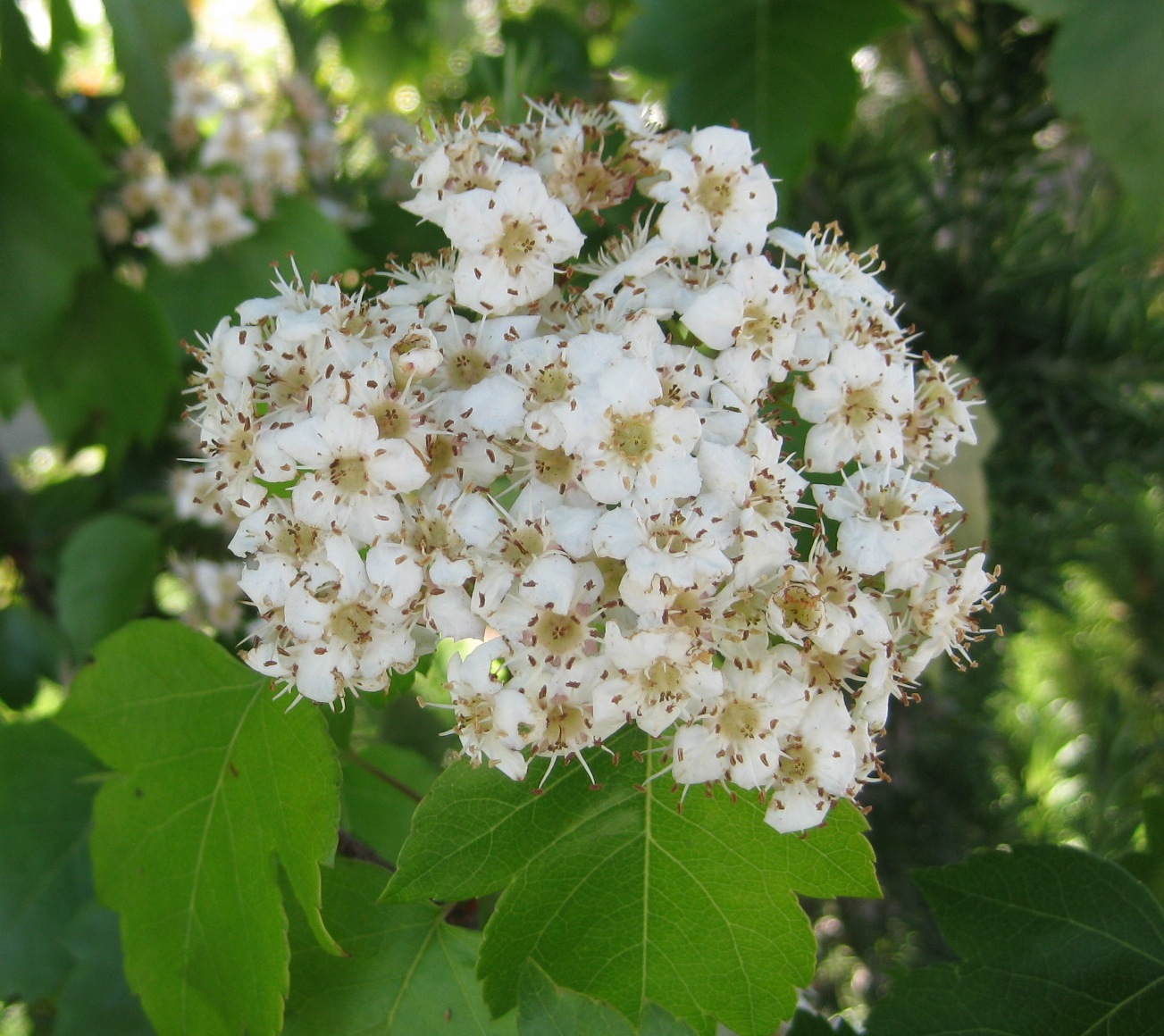 Trees of santa cruz county crataegus phaenopyrum washington thorn flowers are small off white in clusters in june sort of a funky smell mightylinksfo