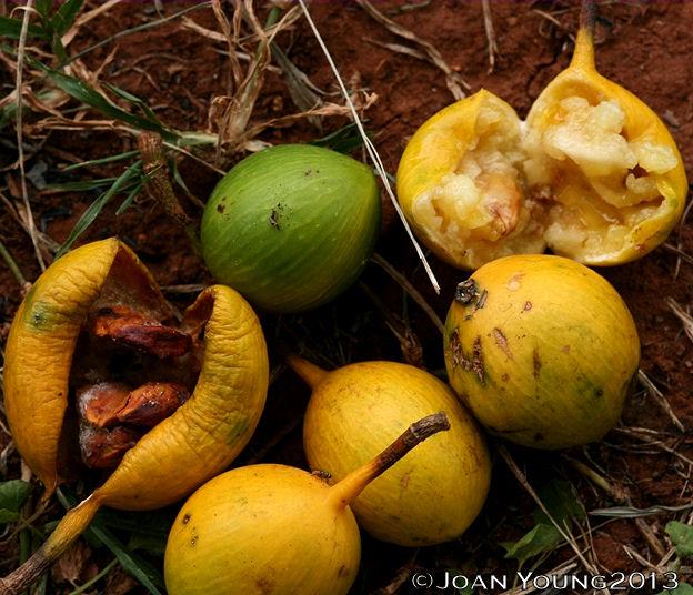 Natures World of Wonder: Africana Wild Mango (Cordyla ...
