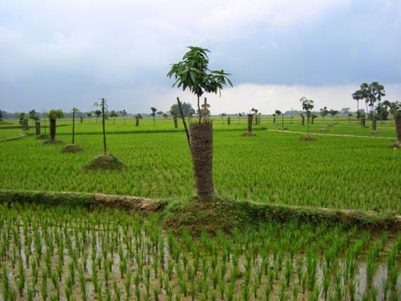 Planting trees along with crops insures farmers.