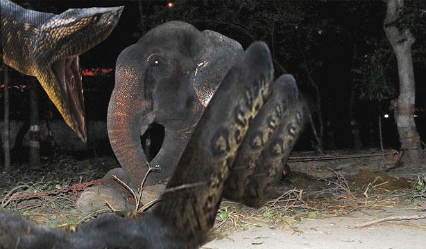 king cobra attack elephantstrange video clip