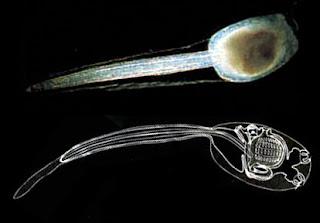 Larva Paling Unik Di Dunia