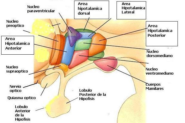 Endocrinologia - Hipotalamo