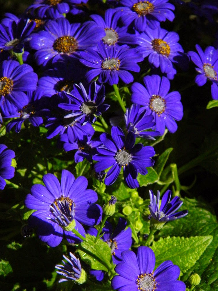 Blue Florist's Cineraria Allan Gardens Conservatory 2015 Spring Flower Show by garden muses-not another Toronto gardening blog