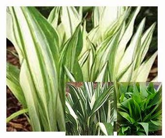 Aspidistra, facile coltivazione, tra orto e giardino