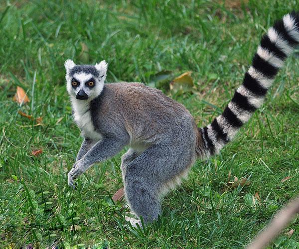 Lemur Animals Backgrounds