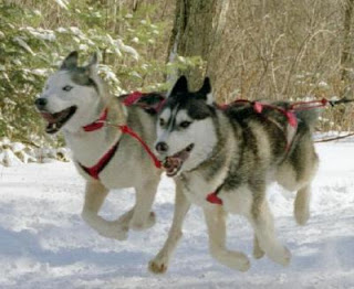 Siberian Husky Strong