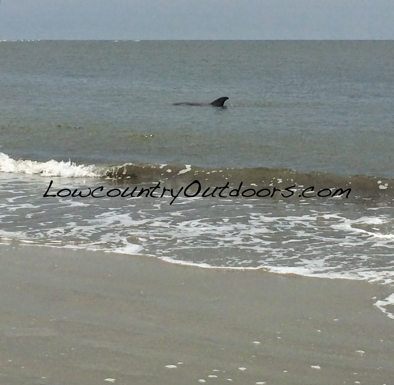Lowcountry outdoors exploring edisto island dolphin strand feeding dolphin in shallow water looking for a meal nvjuhfo Gallery