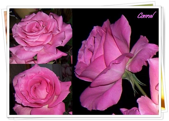 Rosas cordobesas