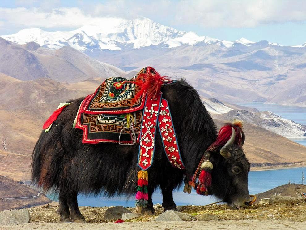Yak Hewan Unik Dari Himalaya