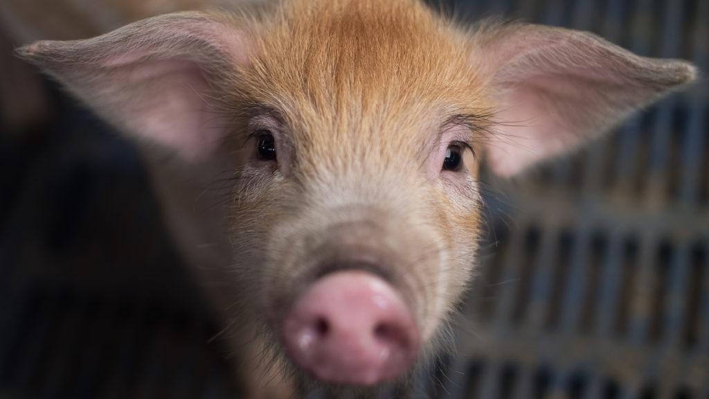 TRUMPFACE  PIG
