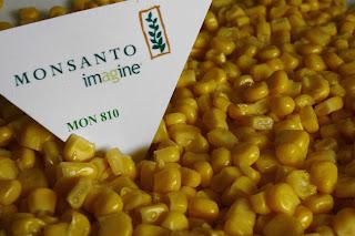 monsanto+mais+MON+810
