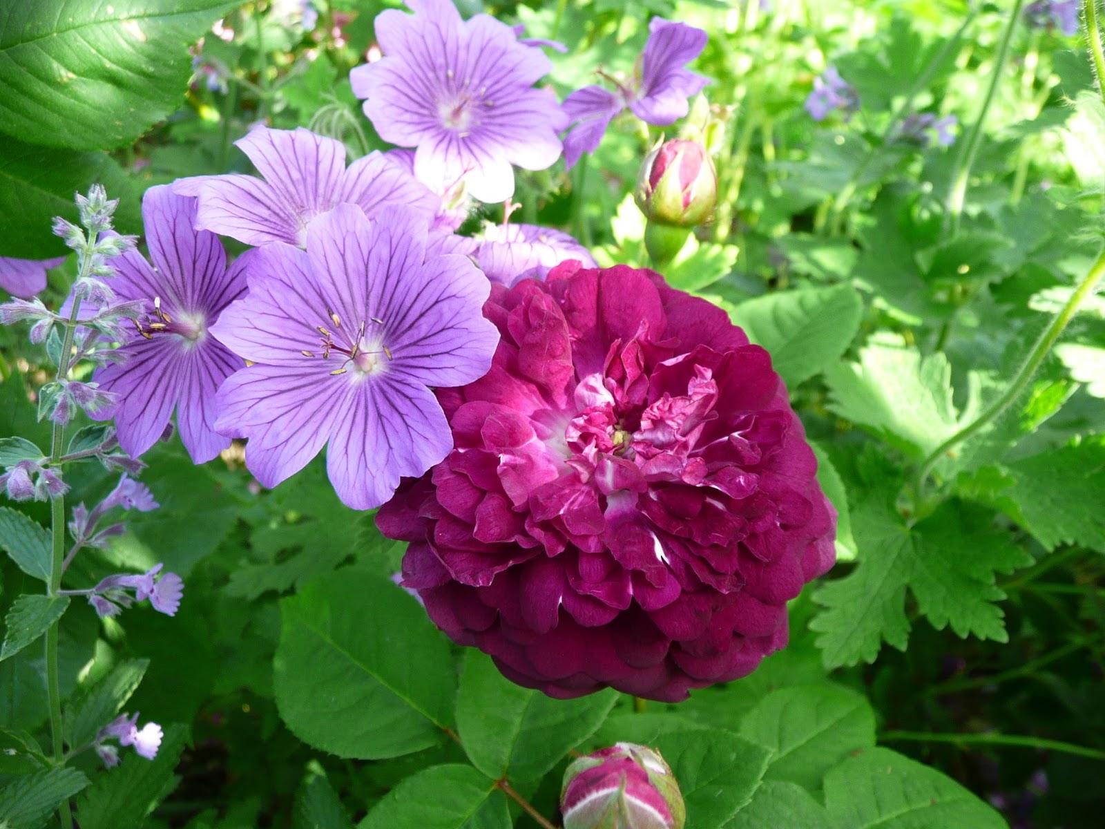notre jardin secret les roses comme rem de. Black Bedroom Furniture Sets. Home Design Ideas