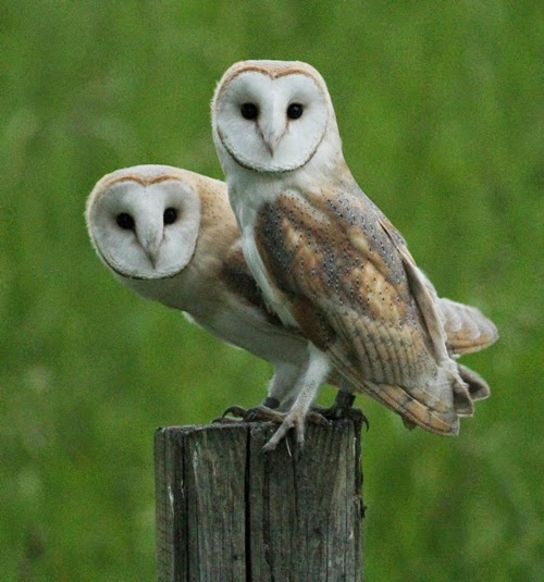 a day in the life of a wildlife artist barn owl chicks fledge