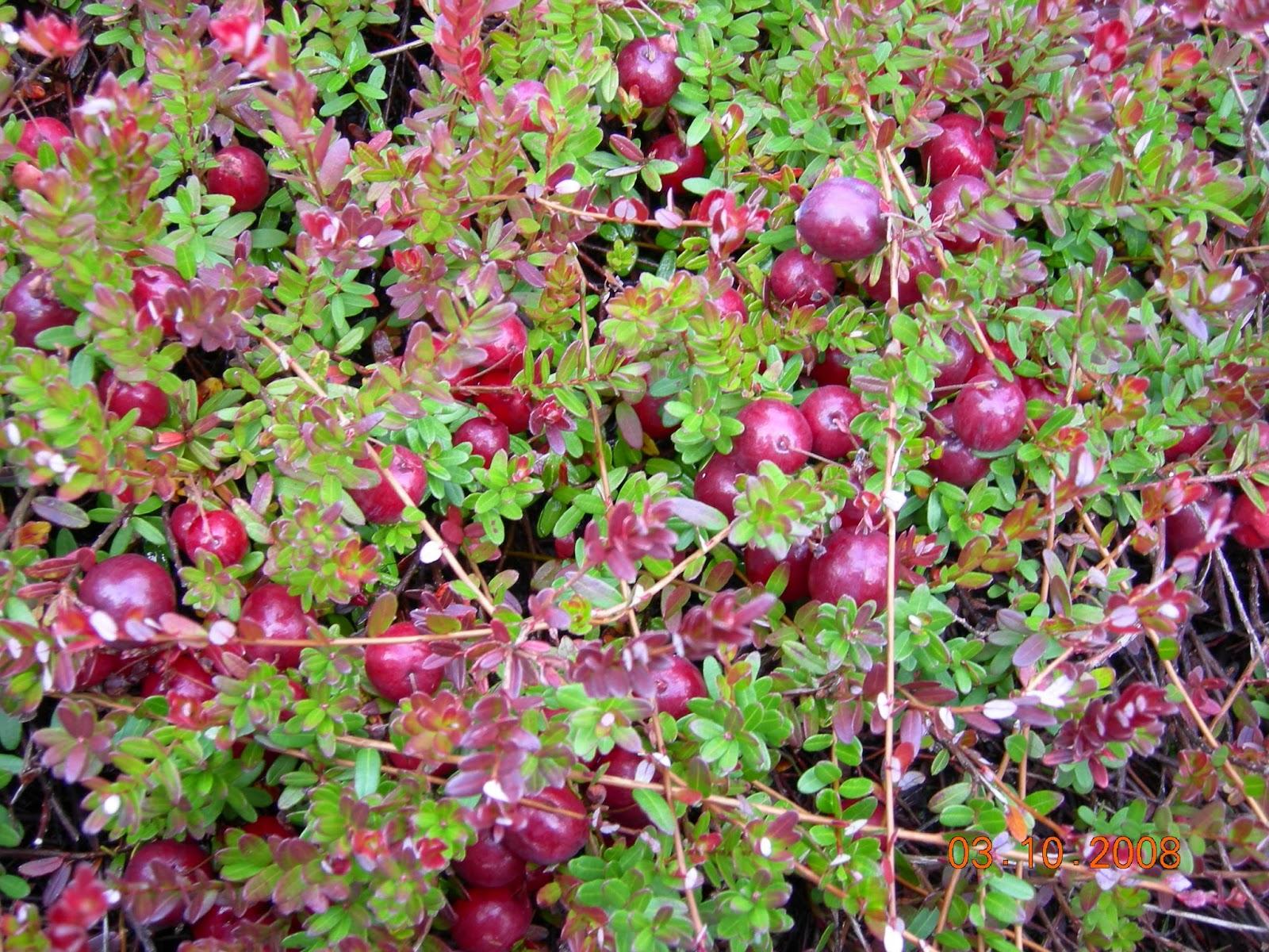 Клюква: сорта, выращивание и уход 2