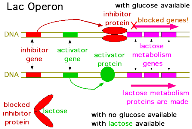 Combination of switches the lac operon