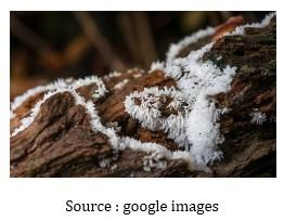 Ciri – Ciri Dan Spesifikasi Myxomycetes Atau Mycetozoa