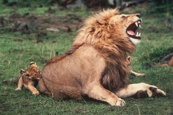 Funny animals of the week - 20 December 2013 (40 pics), baby lion bites adult lion