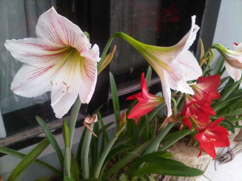 Dharae Earth Indian Gardening Blog Amaryllis Everywhere
