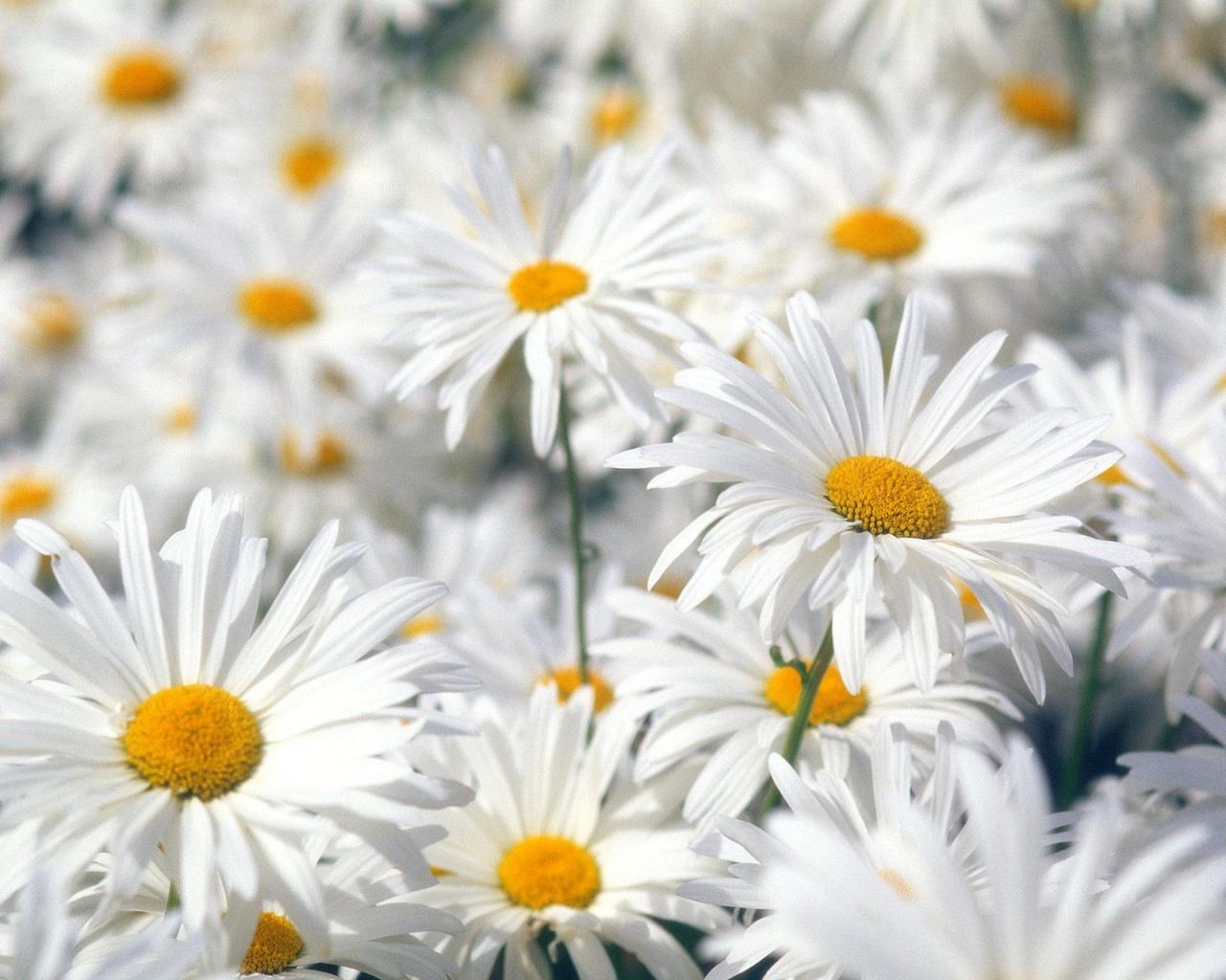http://4.bp.blogspot.com/-rK6Hvi0Ck-g/Tacs_1HTUnI/AAAAAAAAGVs/OpRzJBqcxU0/s1600/plentiful_oxeye_daisies-1280x1024.jpg