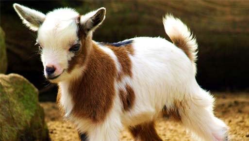 tips mudah bisnis ternak hewan